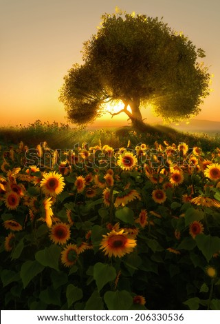 3D computer graphics of a sunflower field at sunrise - stock photo
