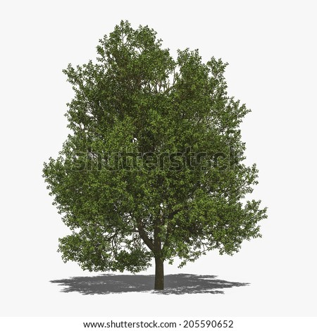 3D computer rendered illustration Quercus robur summer