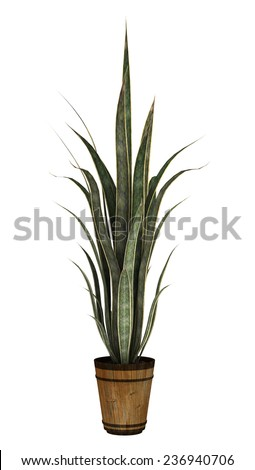 3D digital render of a sansevieria in a flower pot isolated on white background - stock photo