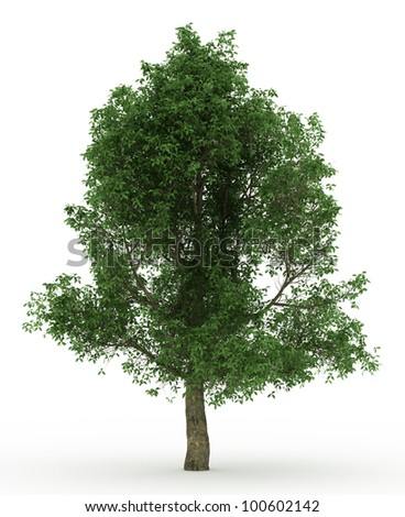 3d English Oak  tree isolated over white