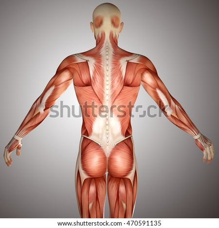 3d Human Anatomy Torso Back Muscles Stock Illustration 470591135