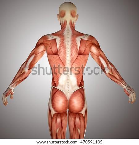 3 D Human Anatomy Torso Back Muscles Stock Illustration 470591135 ...