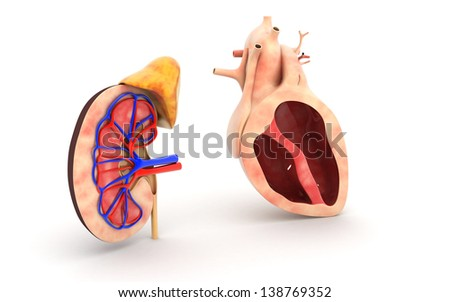 3d Human heart and kidney isolated on white background - stock photo