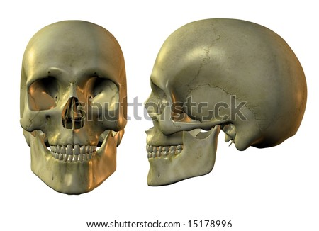 3d image of human skull in full face and profile