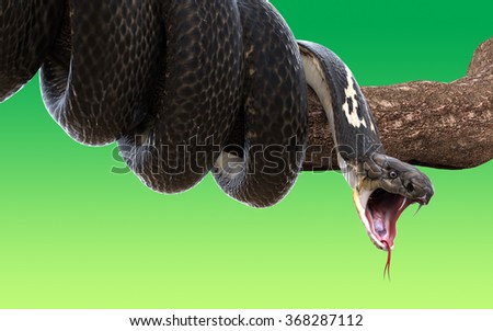 3d King cobra snake wrapped on a tree branch isolated on green background - stock photo
