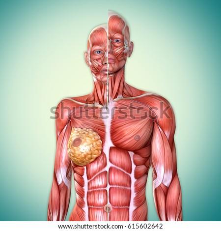 3 D Male Female Torso Anatomy Together Stock Illustration 615602642 ...