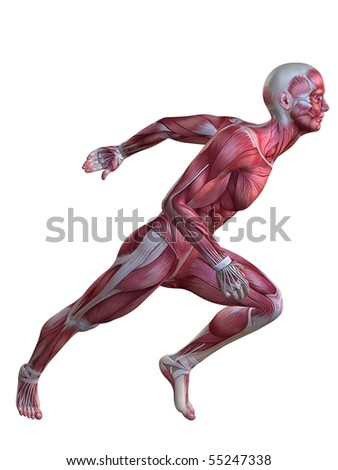 3d muscle model - stock photo