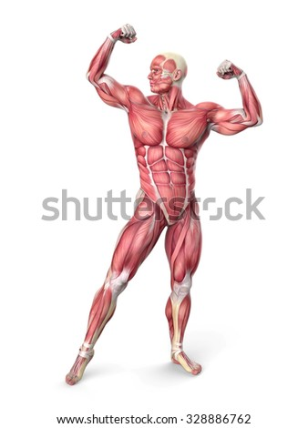 3d muscular anatomy - bodybuilder isolated on white  - stock photo