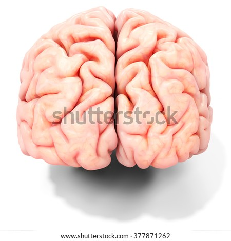 3d realistic detailed brain on white background - stock photo