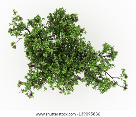 3d render Cloves bush tree with flowers isolated over white - stock photo