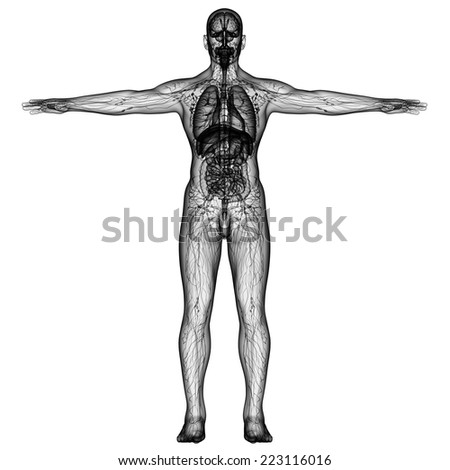 3d render medical illustration of the human anatomy - front view - stock photo