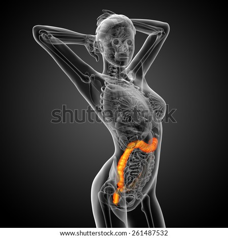 3d render medical illustration of the human larg intestine - side view