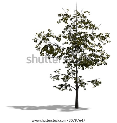 3D Render of a young broadleef tree with shadow and clipping path over white