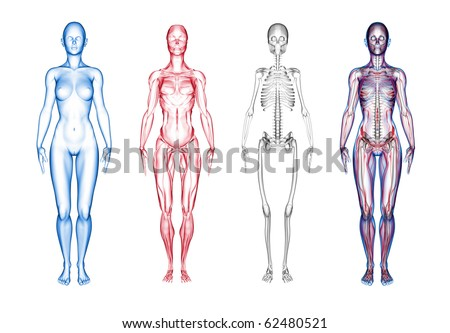 3D render of female anatomy - stock photo