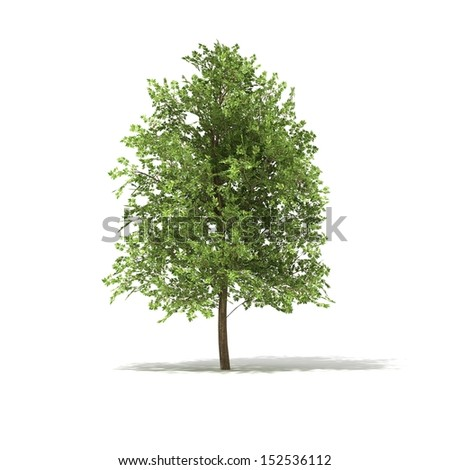 3D rendered illustration of Ahorn Tree model