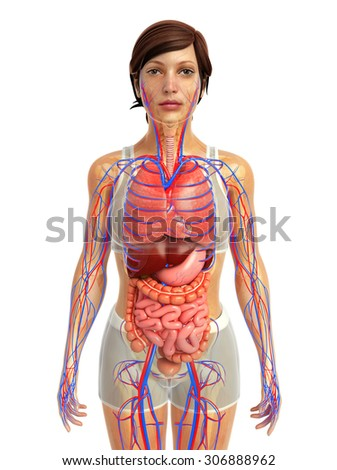 3d rendered illustration of female digestive system - stock photo