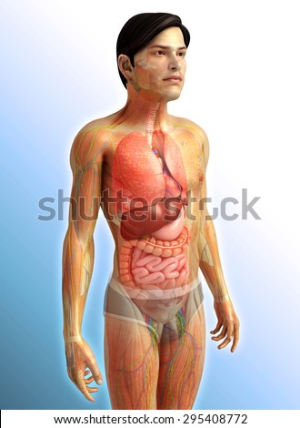 3d rendered illustration of male digestive system