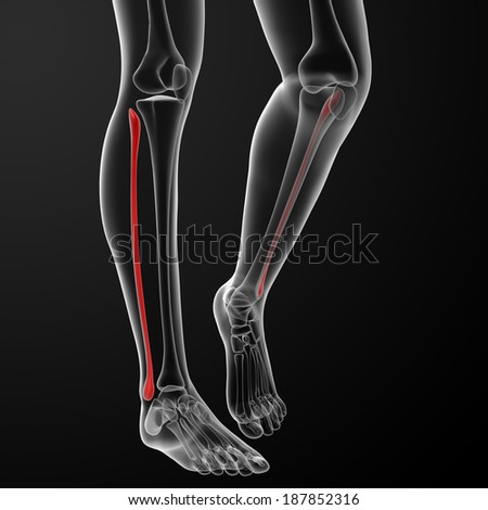 3d rendered illustration of the female fibular bone - front view