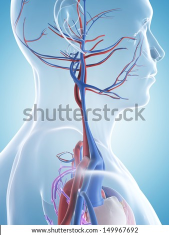 3d rendered illustration of the male vascular system - stock photo