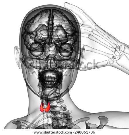 3d rendered illustration of the  thyroid gland - front view - stock photo