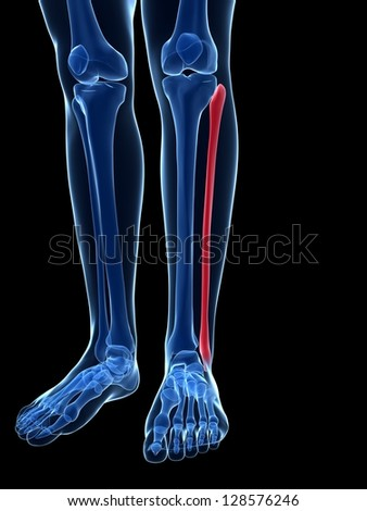 3d rendered illustration - the fibula bone