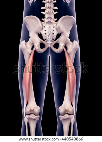 3d rendered, medically accurate illustration of the biceps femoris longus - stock photo