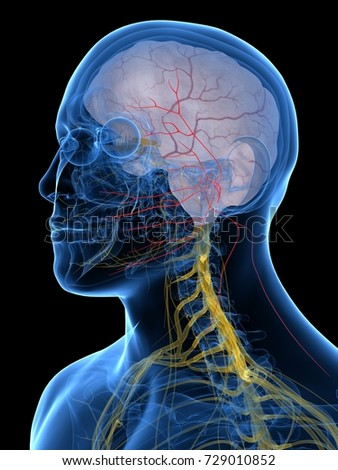 3d rendered medically accurate illustration of the Facial Nerve