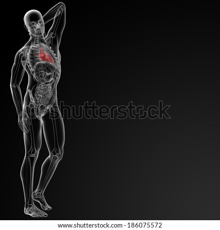 3d rendered of the human heart - side view - stock photo