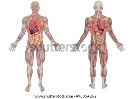3d rendering front and back view of an anatomical man with internal organs view isolated on white