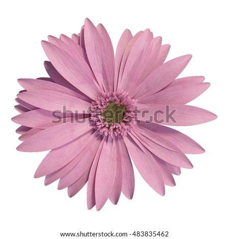 3D rendering of pink gerbera daisy on white background