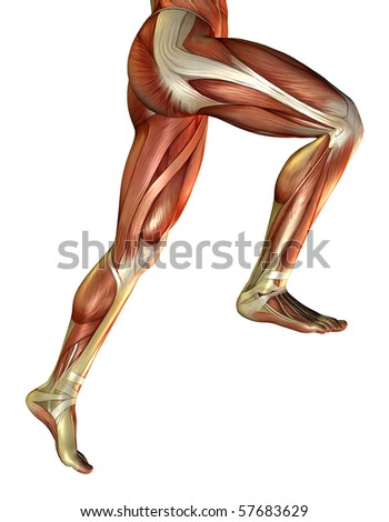 3D rendering of the male leg muscles