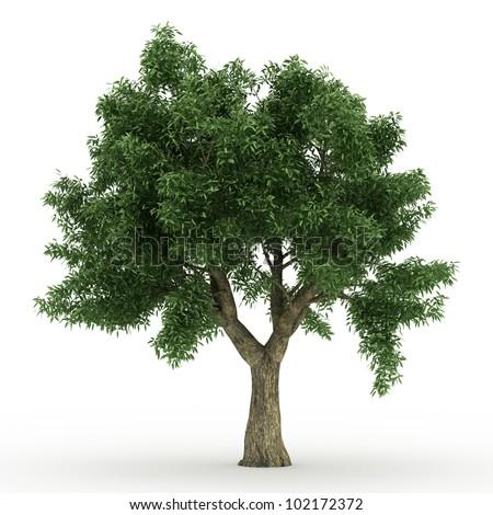 3d Sessile Oak  tree isolated over white - stock photo
