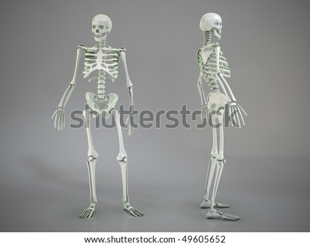 3d skeletons standing in anatomical expose poses
