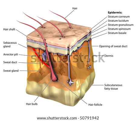 3D skin oblique labeled - stock photo