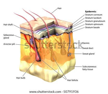 3D skin oblique with cut away epidermis labeled - stock photo