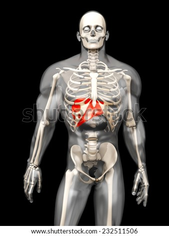 3D visualization of the human anatomy. The Liver in a semi-transparent adult male body.  - stock photo