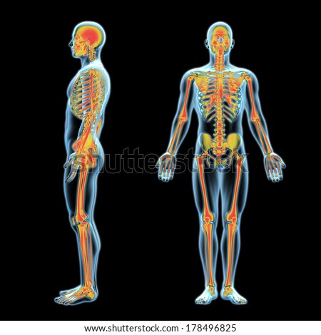 3 D Xray Human Anatomy Model Skeleton Stockillustration 178496825 ...