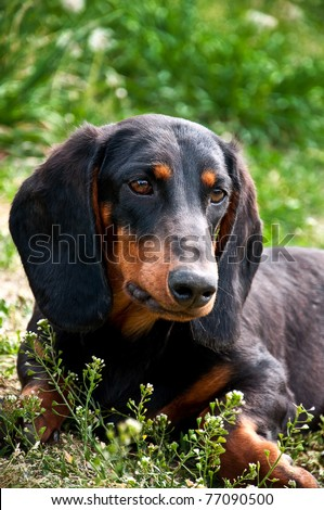 ?Dachshund? or Wiener dog,Close up portrait of a black and brown dog dachshund in the garden - stock photo