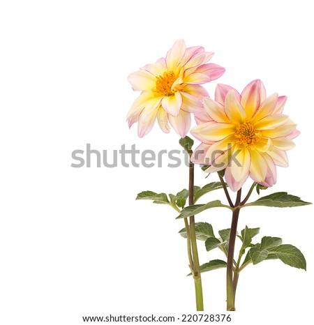 dahlia flower on white background - stock photo