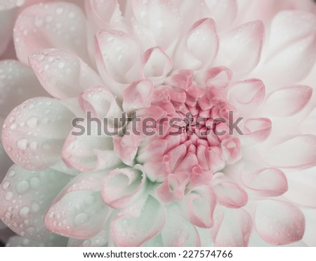 Dahlia with water drops. Color toned. Selective focus with shallow depth of field. - stock photo