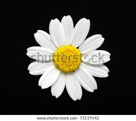 daisy flower isolated on black - stock photo