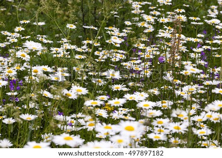 daisy growing in a field in the spring (summer) season