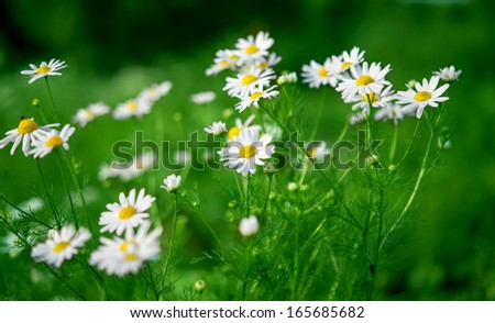 daisy growing in the meadow - stock photo