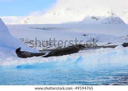 2 dangerous Leopard seals on iceberg very close - stock photo