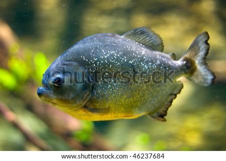 Dangerous Red-Belly Piranha (Serrasalmus Nattereri) looking to the camera - stock photo