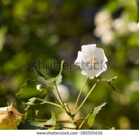 Delicate fragrant white cup shaped ornamental drooping flowers of  Dombeya natalensis  Natal Wedding Flower blooming in autumn  turn rusty after a shower of rain  . - stock photo