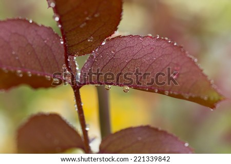 dew rain water drops on the red rose leaves  macro - stock photo