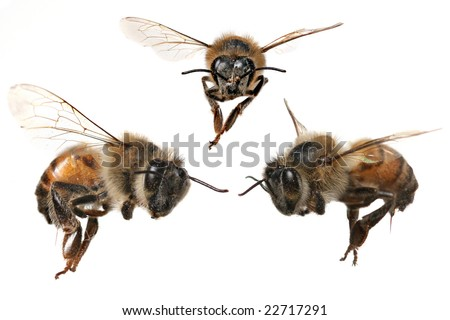 3 Different Angles of a North American Honey Bee With Stinger Attached - stock photo