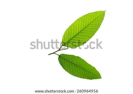 (Dipterocarpus alatus Roxb. ex G.Don), leaf form and texture - stock photo