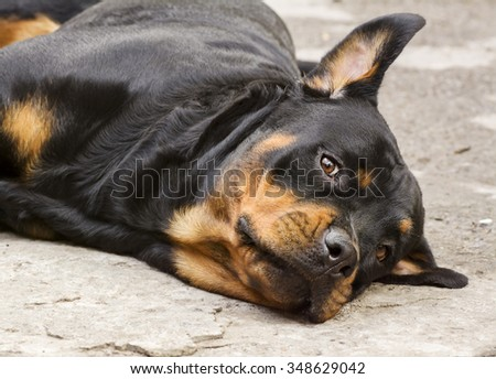 dog breed Rottweiler stares  and nastorozhit  one ear  - stock photo